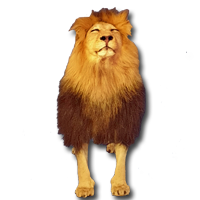 Majestic full-mount Lion in standing position brought to you by top taxidermists, Pan African Gallery. Our CITES compliant products are shipped world-wide.